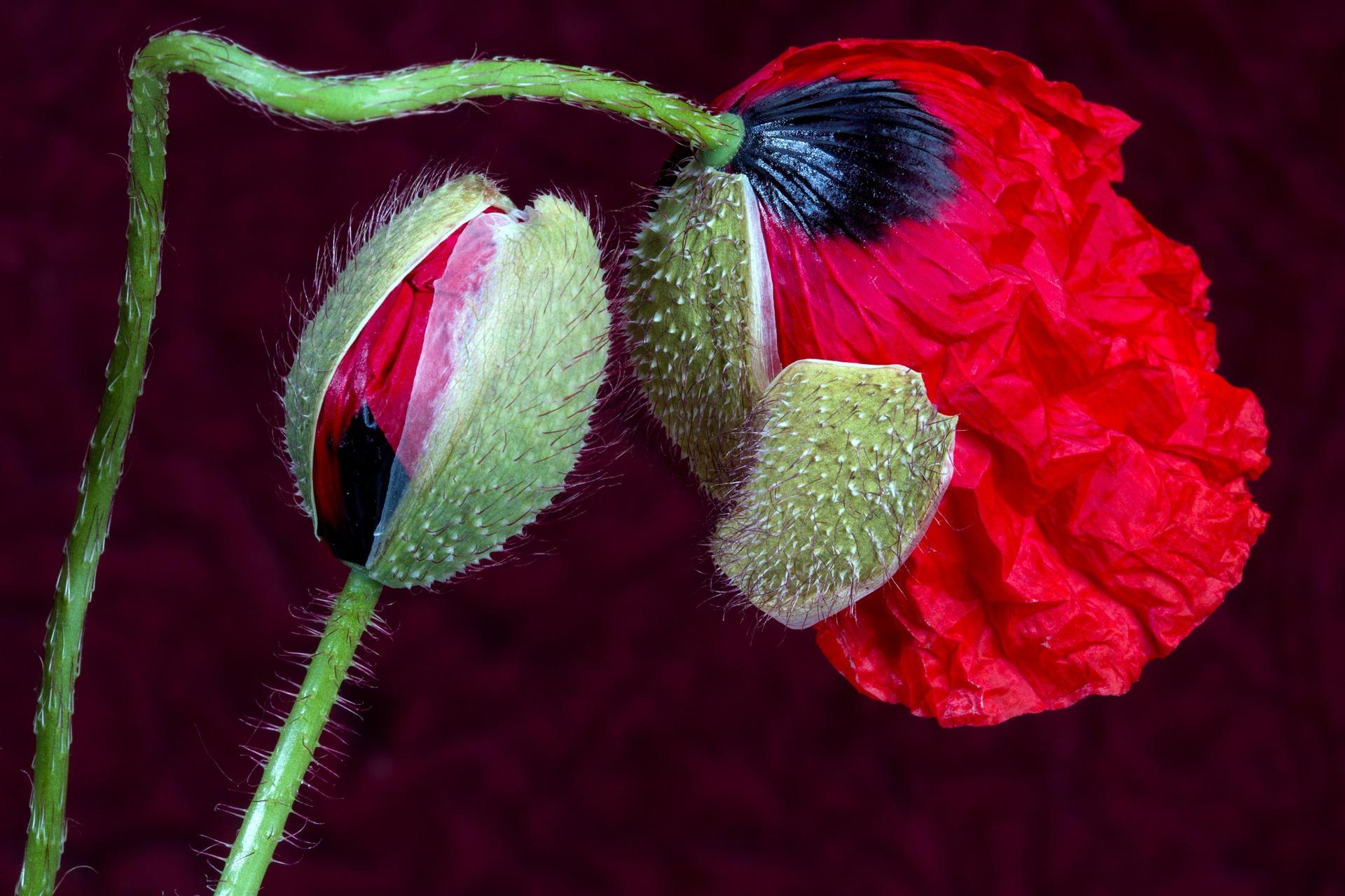 poppy-1474312_1920