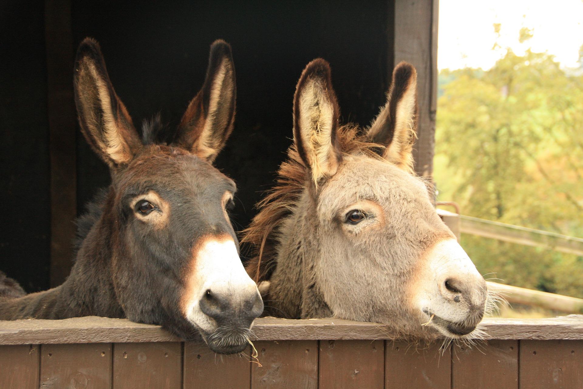 donkeys-1220250_1920